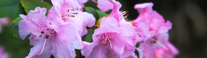 Kevään ensi kukkasia