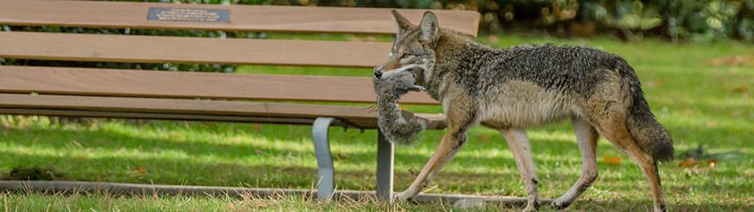Ulkoilijat kojoottien saaliina